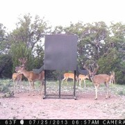 Compasso Ranch Whitetail Deer